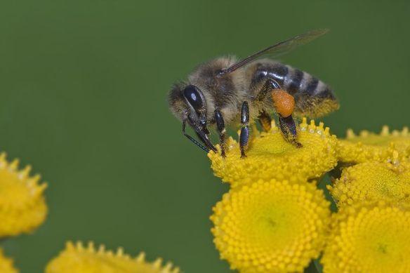 close-up photograph of honeybee on yellow flower